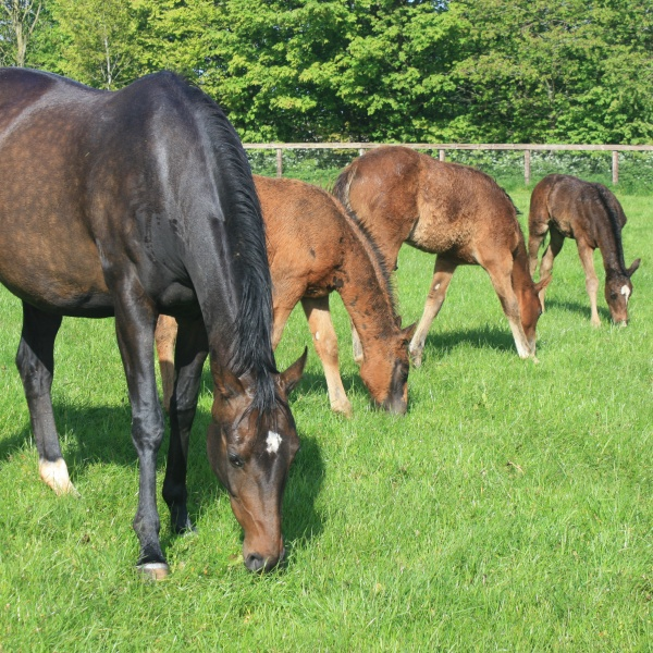 Horse with foals