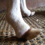 Foal deformity.
