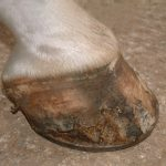 Poor hoof wall.