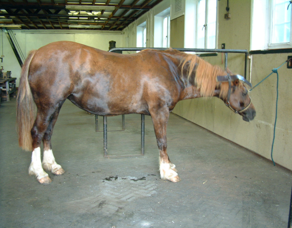 Horse with Laminitis Before